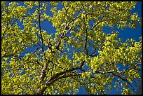 Branches with spring leaves against sky. Yosemite National Park ( color)