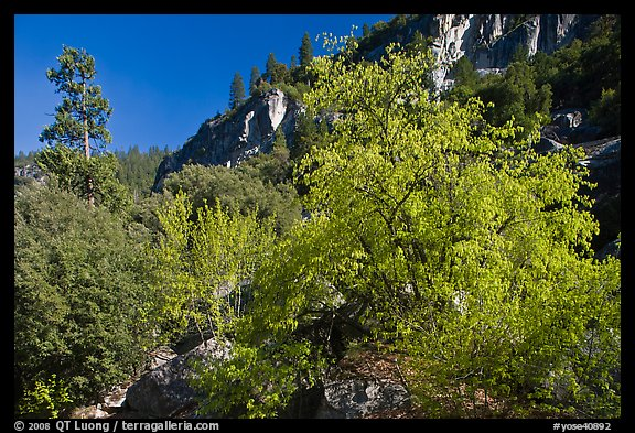 Tree in cliffs, early spring, Lower Merced Canyon. Yosemite National Park, California, USA.