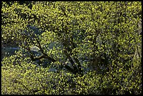 Tree in early spring with tender green. Yosemite National Park, California, USA.
