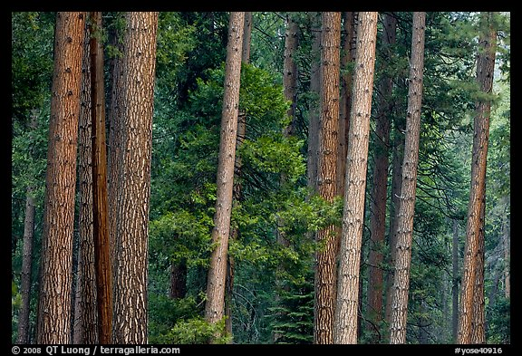 Pine forest. Yosemite National Park (color)
