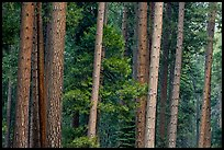 Pine forest. Yosemite National Park, California, USA.