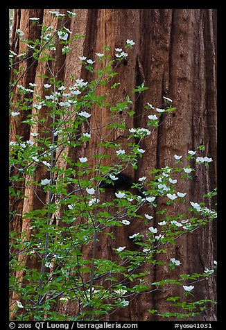 Dogwood flowers and trunk of sequoia tree, Tuolumne Grove. Yosemite National Park (color)