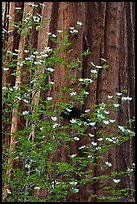 Dogwood flowers and trunk of sequoia tree, Tuolumne Grove. Yosemite National Park, California, USA.