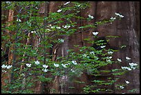 Dogwood blooms and giant sequoia tree trunk, Tuolumne Grove. Yosemite National Park, California, USA. (color)
