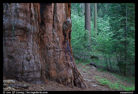 Base of giant sequoia, pines, and dogwoods, Tuolumne Grove. Yosemite National Park (color)