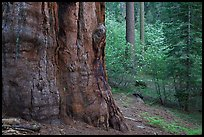 Base of giant sequoia, pines, and dogwoods, Tuolumne Grove. Yosemite National Park, California, USA. (color)
