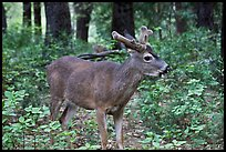 Young bull deer in forest. Yosemite National Park ( color)