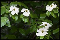 Close-up of dogwood flowers. Yosemite National Park, California, USA. (color)