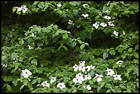 Dogwoods flowers and leaves. Yosemite National Park, California, USA. (color)