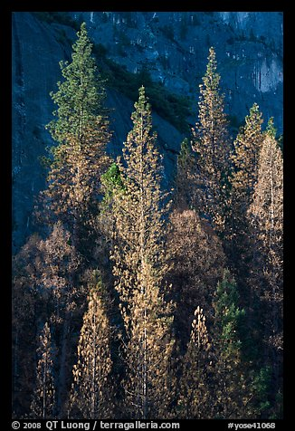 Pines with yellowed leaves and cliff. Yosemite National Park, California, USA.
