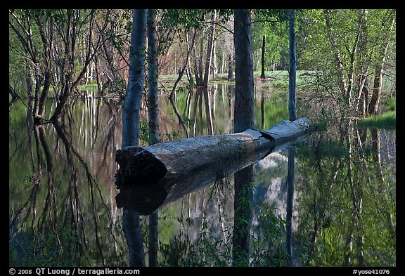 Fallen tree in Merced River spring overflow. Yosemite National Park (color)