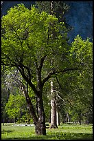 Oak tree in spring, El Capitan Meadow. Yosemite National Park, California, USA.