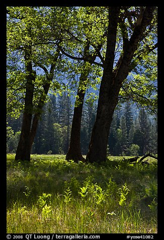 Oak trees in spring, El Capitan Meadow. Yosemite National Park (color)