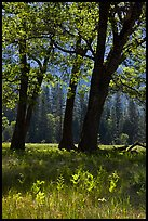 Oak trees in spring, El Capitan Meadow. Yosemite National Park, California, USA. (color)