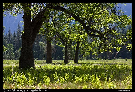 Ferns and oak trees in spring, El Capitan Meadow. Yosemite National Park (color)