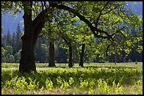 Ferns and oak trees in spring, El Capitan Meadow. Yosemite National Park, California, USA.