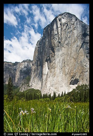 Wild irises and El Capitan. Yosemite National Park (color)