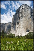 Wild irises and El Capitan. Yosemite National Park, California, USA. (color)