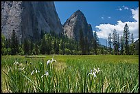Wild irises, El Capitan meadows, and Cathedral Rocks. Yosemite National Park, California, USA.