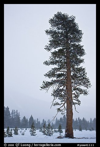 Tall solitatary pine tree in snow storm. Yosemite National Park, California, USA.