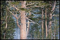 Pine tree forest in storm with spindrift, Tioga Pass. Yosemite National Park, California, USA.