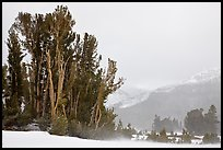 Trees in storm with blowing snow, Tioga Pass. Yosemite National Park, California, USA.