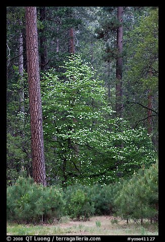 Forest with dogwood tree in bloom. Yosemite National Park (color)