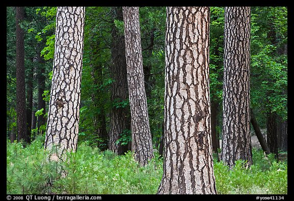 Pine forest with patterned trunks. Yosemite National Park (color)