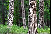 Pine forest with patterned trunks. Yosemite National Park, California, USA. (color)