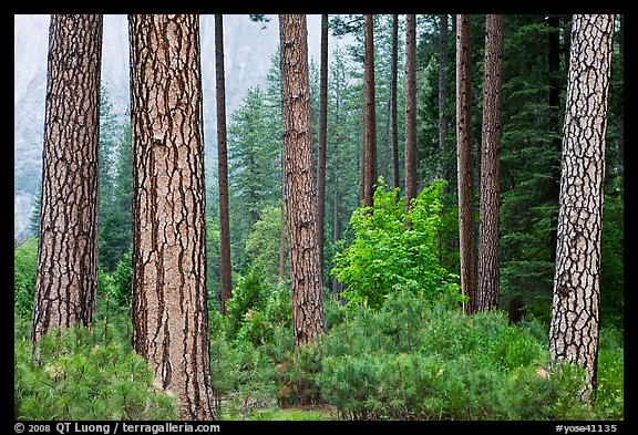 Forest with fall pine trees and spring undergrowth. Yosemite National Park (color)
