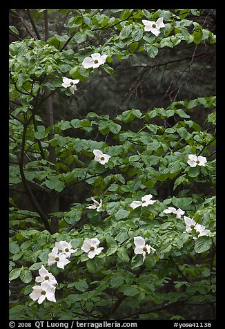 Dogwood tree branches with flowers. Yosemite National Park (color)