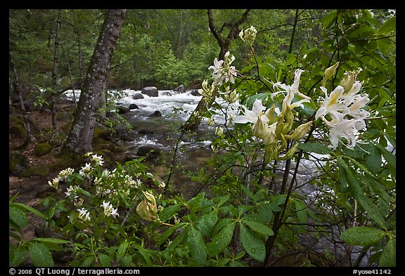 Azelea near Merced River, Happy Isles. Yosemite National Park (color)