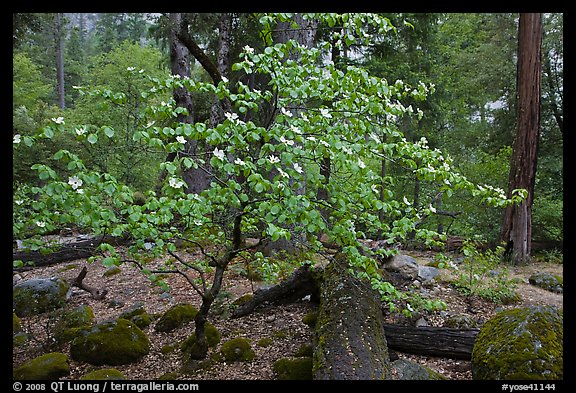 Dogwood tree and mossy boulders in spring, Happy Isles. Yosemite National Park, California, USA.