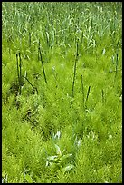 Horsetail grass (Equisetum arvense) near Happy Isles. Yosemite National Park, California, USA. (color)
