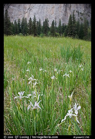 Iris and cliffs, El Capitan Meadow. Yosemite National Park, California, USA.
