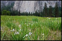 Iris and Cathedral Rocks, El Capitan Meadow. Yosemite National Park, California, USA. (color)