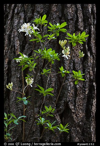 Azelea and pine trunk. Yosemite National Park (color)