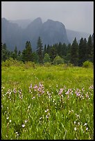 Wildflowers in Cook Meadow and Cathedral Rocks in storm. Yosemite National Park, California, USA. (color)