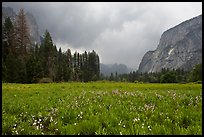 Wildflowers in Cook Meadow in stormy weather. Yosemite National Park, California, USA. (color)