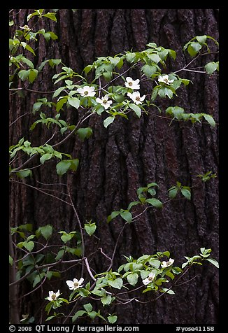 Dogwood branches with flowers against trunk. Yosemite National Park (color)