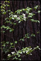 Dogwood branches with flowers against trunk. Yosemite National Park, California, USA.