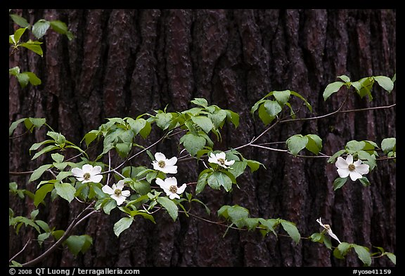Dogwood branch with flowers against trunk. Yosemite National Park, California, USA.