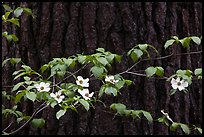 Dogwood branch with flowers against trunk. Yosemite National Park ( color)