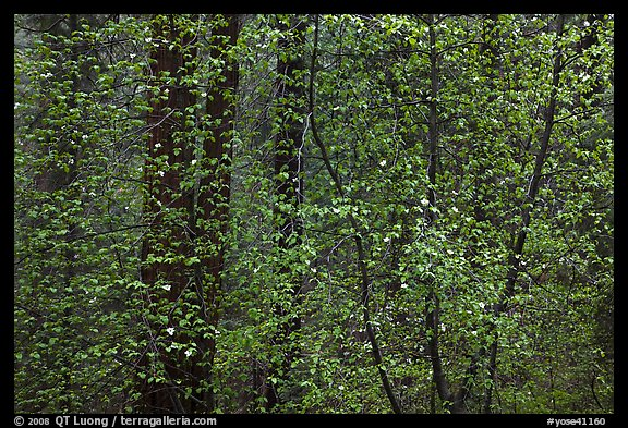 Curtain of recent Dogwood leaves and flowers in forest. Yosemite National Park (color)