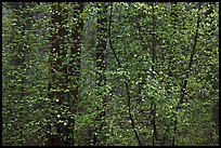 Curtain of recent Dogwood leaves and flowers in forest. Yosemite National Park, California, USA. (color)