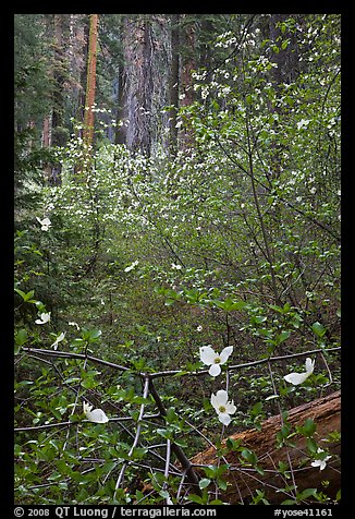 Forest with dogwoods in bloom near Crane Flat. Yosemite National Park, California, USA.