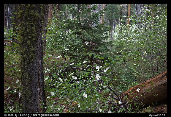 Spring Forest with white dogwood blossoms. Yosemite National Park, California, USA.
