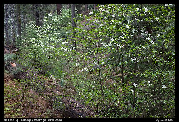 Forest in spring with fallen trees, and flowering dogwoods. Yosemite National Park (color)