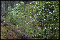 Forest in spring with fallen trees, and flowering dogwoods. Yosemite National Park, California, USA.