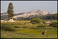 Deer, meadows, and Pothole Dome, early morning. Yosemite National Park, California, USA.